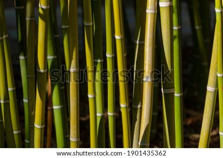 common bamboo (Bambusa vulgaris) Malaga, Spain Zdjęcia stock ©