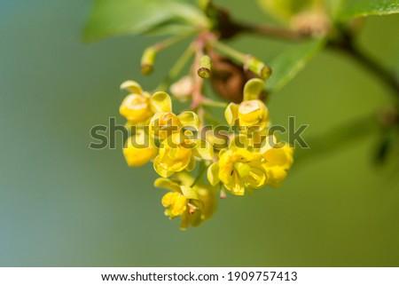 Common barberry (Berberis vulgaris) or European barberry, a shrub in the genus Berberis, family Berberidaceae. Shrub with yellow long panicles flowers blooming in late spring. Stock photo ©
