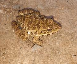 Common big frog, forest frog or orange frog