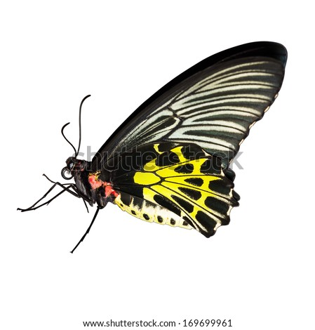 Common birdwing butterfly on white background with clipping path