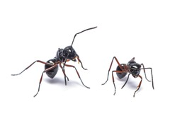 Common black ant or  black garden ant isolated on white background