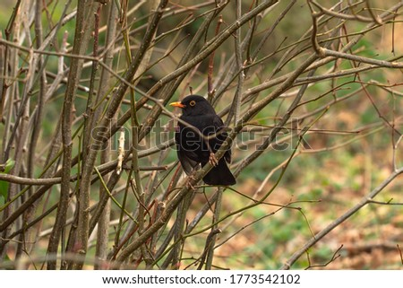 Common black bird sitting on a branch, isolated waiting for food