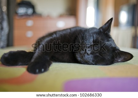 Common black cat in house