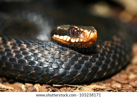 common black vipers head closeup shot