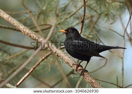 Common blackbird - male (Turdus merula)
