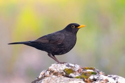 Common blackbird perched on a rock