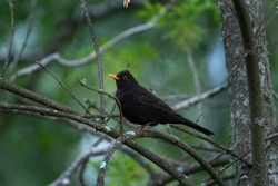 Common blackbird resting in the treetop. Ornithology in the Bulgaria. Calm bird in the Rhodope mountains.
