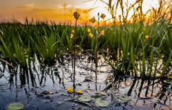 Common Bladderwort (Utricularia vulgaris) located on transitional swamp. Helium with abundance of Water Soldier (Stratiotes) and Sedge (Carex). This is rare aquatic carnivorous plant. Taken at dawn