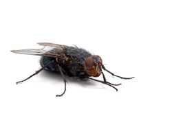Common blowfly or bottle fly (Calliphora vicina) isolated on white. This species is one of the most important fly species for forensic entomology. Photographed in Delta, British Columbia