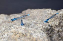 Common Blue Damselflies on granite, Bodmin Moor, Cornwall, UK