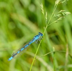common blue damselfly, or northern bluet (Enallagma cyathigerum) on grass