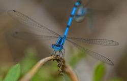 common blue damselfly, or northern bluet (Enallagma cyathigerum) on grass in detail