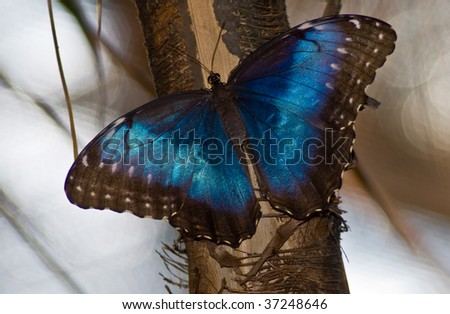 Common blue morpho butterfly perched on a tree branch