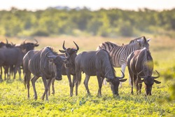 Common Blue Wildebeest or Brindled Gnu (Connochaetes taurinus) herd grazing at sunset in Mooiplaas river bed in bushveld savanna of Kruger national park South Africa with zebra in background