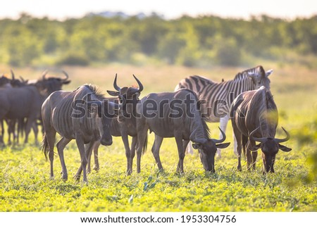 Common Blue Wildebeest or Brindled Gnu (Connochaetes taurinus) herd grazing at sunset in Mooiplaas river bed in bushveld savanna of Kruger national park South Africa with zebra in background Stock photo ©