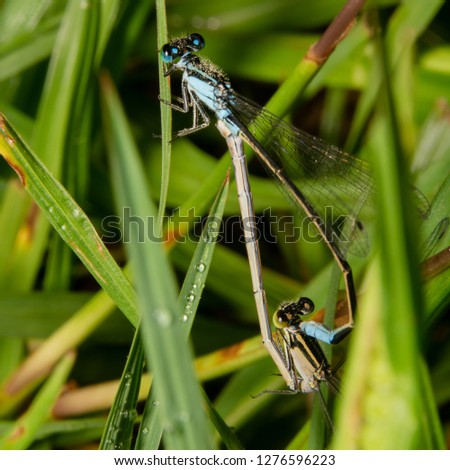 Common Bluetail Damselfly, scientific name Ischnura heterosticta is mating early morning on grass, top down view and almost looks like damselfly is doing acrobatics.