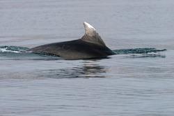 Common bottlenose dolphin or Atlantic bottlenose dolphin(Tursiops truncatus) Malaga, Spain