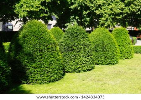 Common boxwood trees (Buxus sempervirens), garden plants #1424834075