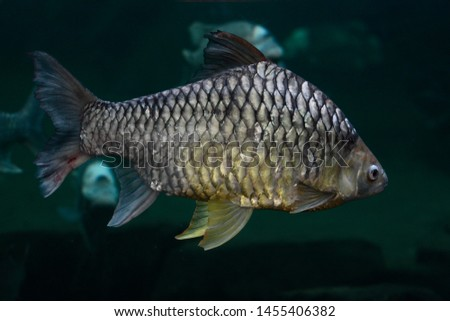Common bream freshwater fish, europe #1455406382