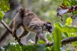 Common brown lemur (Eulemur fulvus), Female with baby on back. Andasibe - Analamazaotra National Park, Madagascar wildlife