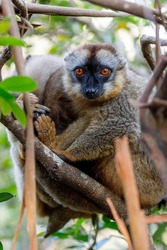 Common brown lemur, Eulemur fulvus, on the tree, in natural habitat, Andasibe - Analamazaotra National Park, Madagascar wildlife