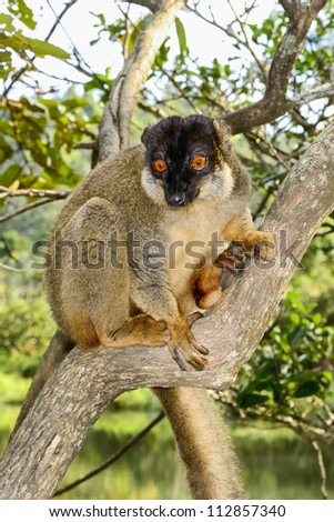 common brown lemur, lemur island, andasibe, madagascar