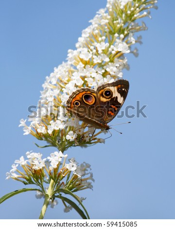 common buckeye butterfly feeds on a white butterfly bush; sky blue background