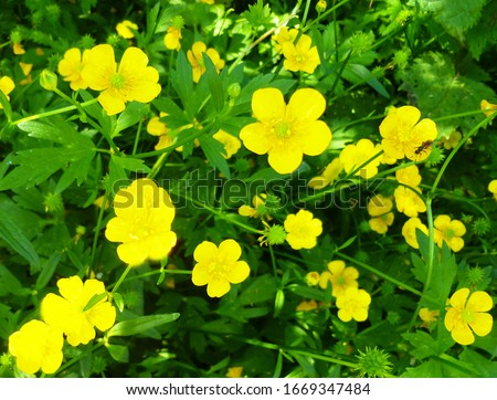 Common Buttercup yellow flowers on green grass background. Ranunculus acris (meadow buttercup, tall buttercup, giant buttercup). Closeup, selective focus