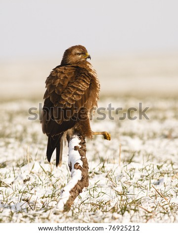 Common Buzzard (Buteo buteo) - stock photo