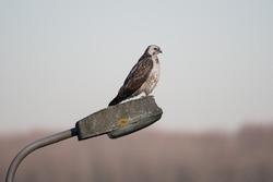 Common buzzard (Buteo buteo) on a lamppost.