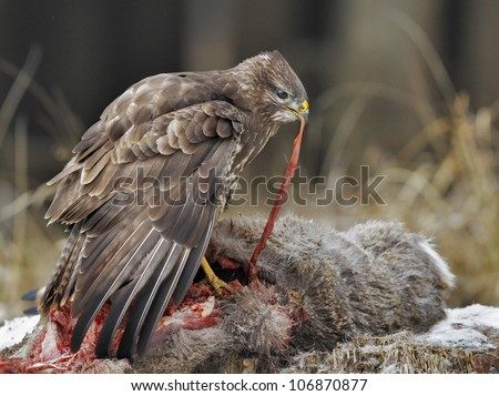 Common buzzard eating roe deer