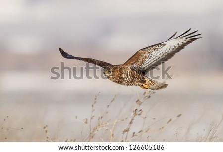 Common buzzard in flight (Buteo buteo)
