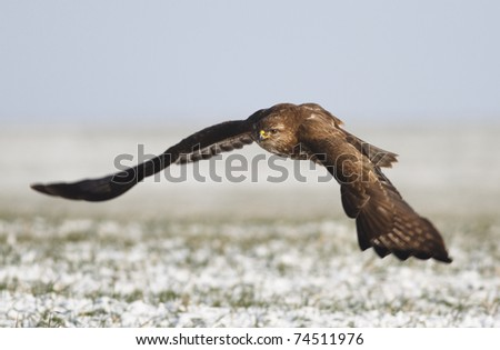 Common buzzard in flight (Buteo buteo)