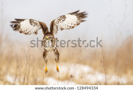 Common buzzard in flight front of nice background