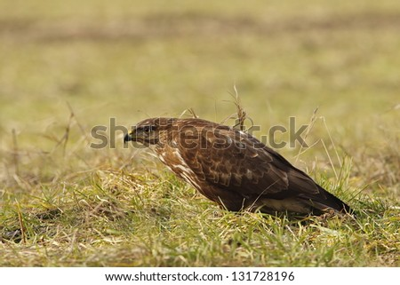Common Buzzard in grass, look