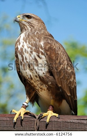 Common buzzard on a wood and captured.