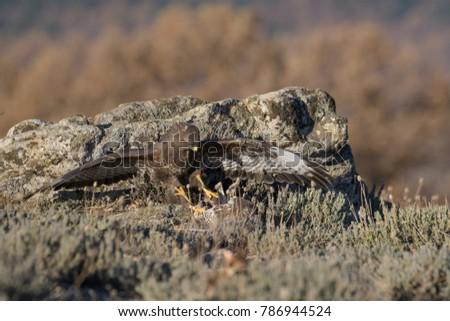Common Buzzard on the mountain rocks #786944524