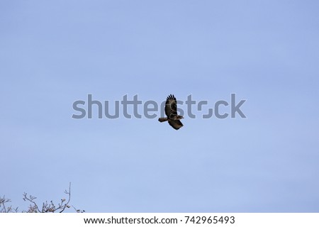 common buzzard or buteo buteo or poiana raptor falcon soaring in flight in Italy