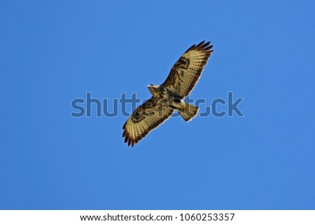 common buzzard or buteo buteo or poiana raptor very close to soaring in flight in Italy