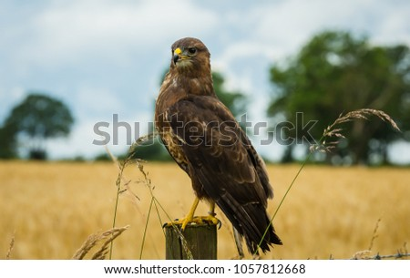Common Buzzard sat on a fence post in a cornfield in the English Countryside.  The buzzard is facing left. Blue sky, trees and a cornfield in the background.  Landscape