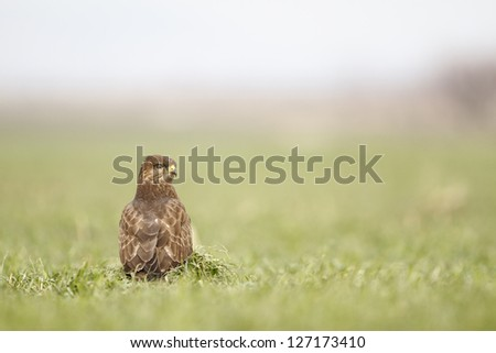 Common Buzzard stand alone on green grass