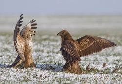 Common buzzards fight