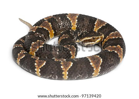 common cantil or Mexican moccasin - Agkistrodon bilineatus taylori, poisonous, white background