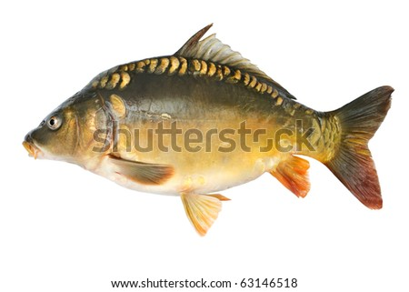 common carp. stock photo : Common carp.