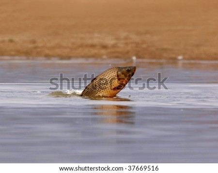 common carp. stock photo : common carp fish