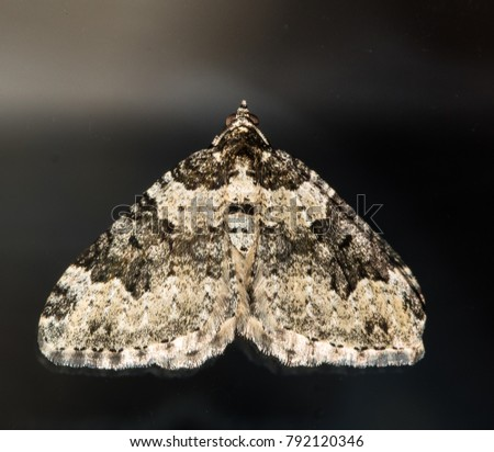 common carpet moth macro