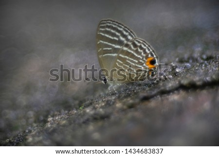 Common Cerulean : Beautiful butterfly of southeast asia #1434683837