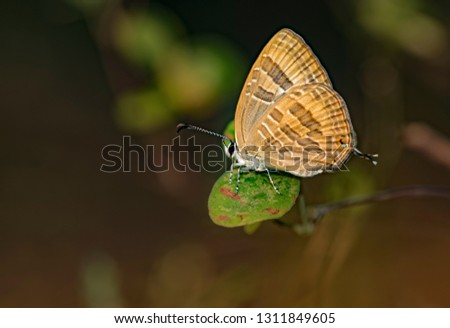 Common Cerulean is known as Jamides celeno. It is a small butterfly in South Asia, and belongs to the lycaenids or blues family. #1311849605