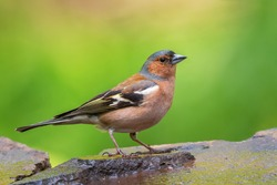 Common Chaffinch - Fringilla coelebs, beautiful colored perching bird from Old World forests, Hortobagy, Hungary.