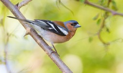 Common chaffinch, Fringilla coelebs. In the early morning, a male bird sits on a branch